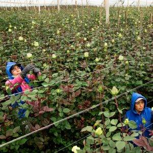 Nachhaltige Rosenfarm - Ernte nur auf Nachfrage